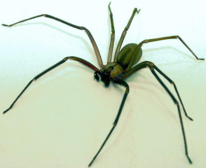 Brown Spider Recluse
