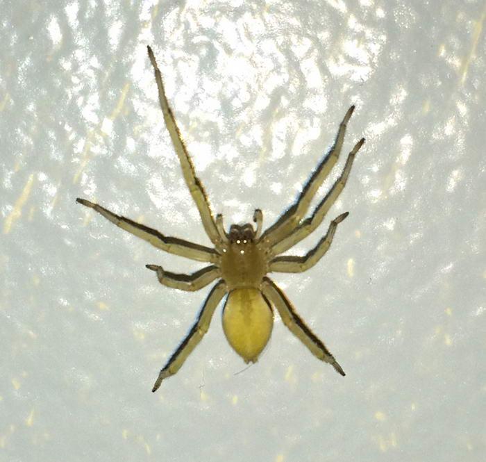 Aranha do saco amarelo