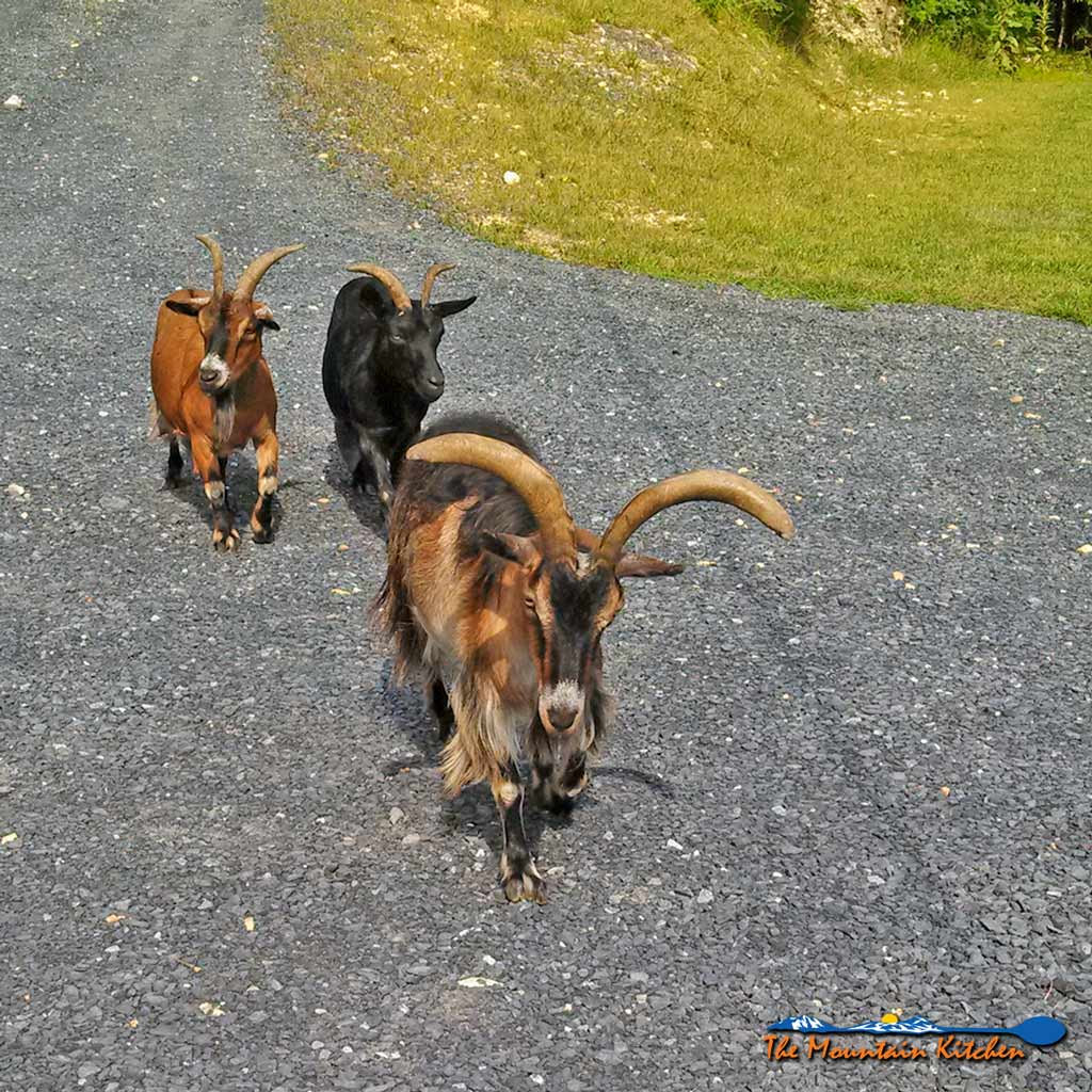 The Goat, The Bear & The Frazzled Mountain Woman ~ A true story about 3 goats that visit our mountain home to seek refuge from a hungry black bear! Unreal!   TheMountainKitchen.com