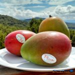 mangoes with mountain view