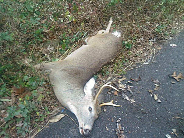 Deer Hit With Jeep