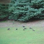 Turkeys on Bull Run