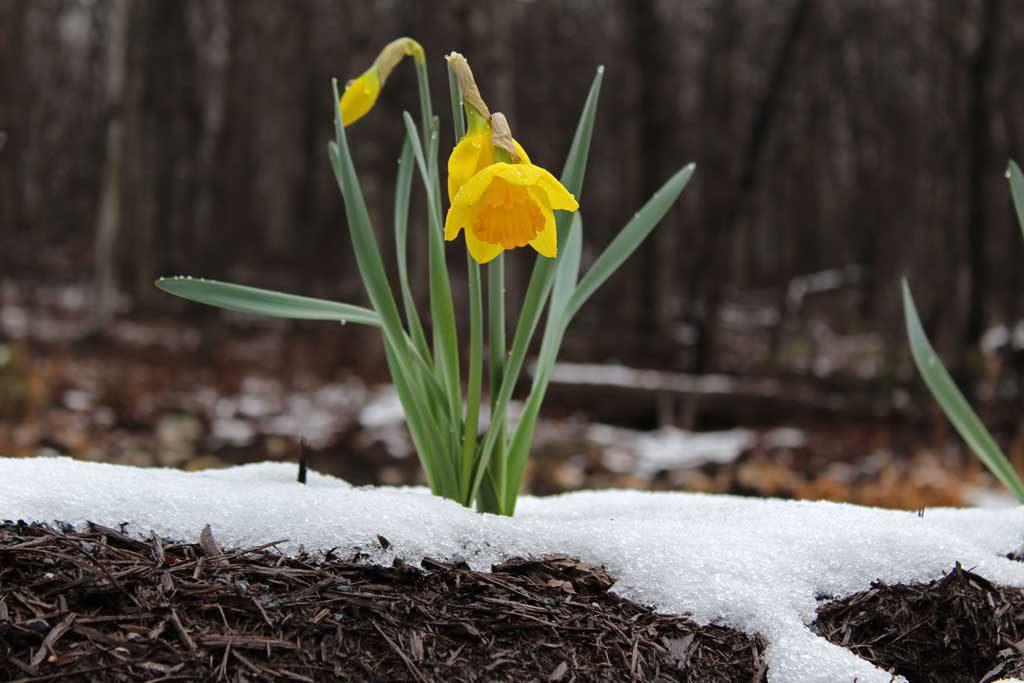 daffodil blooming in snow