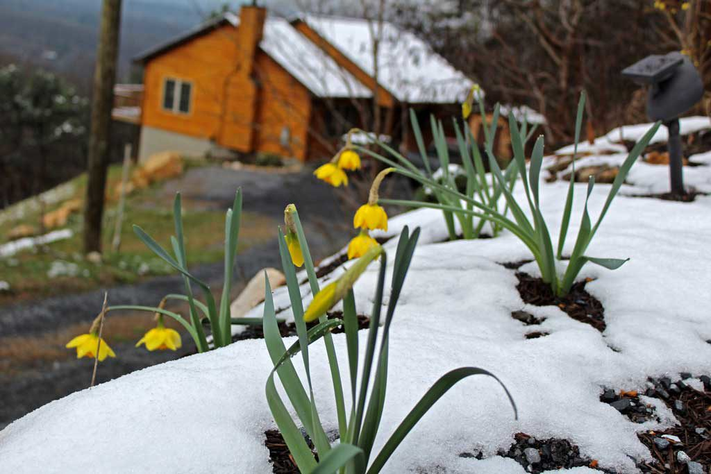 daffodils blooming in snow