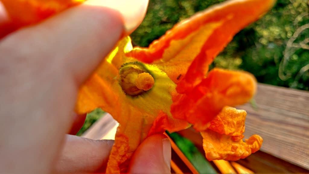 an open squash blossom