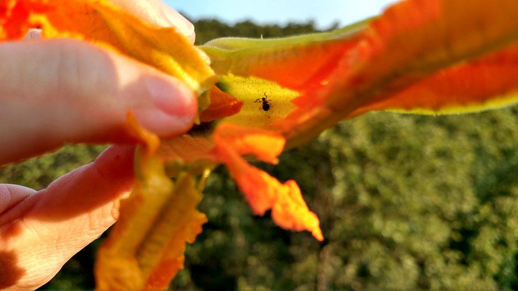 bug inside a squash blossom