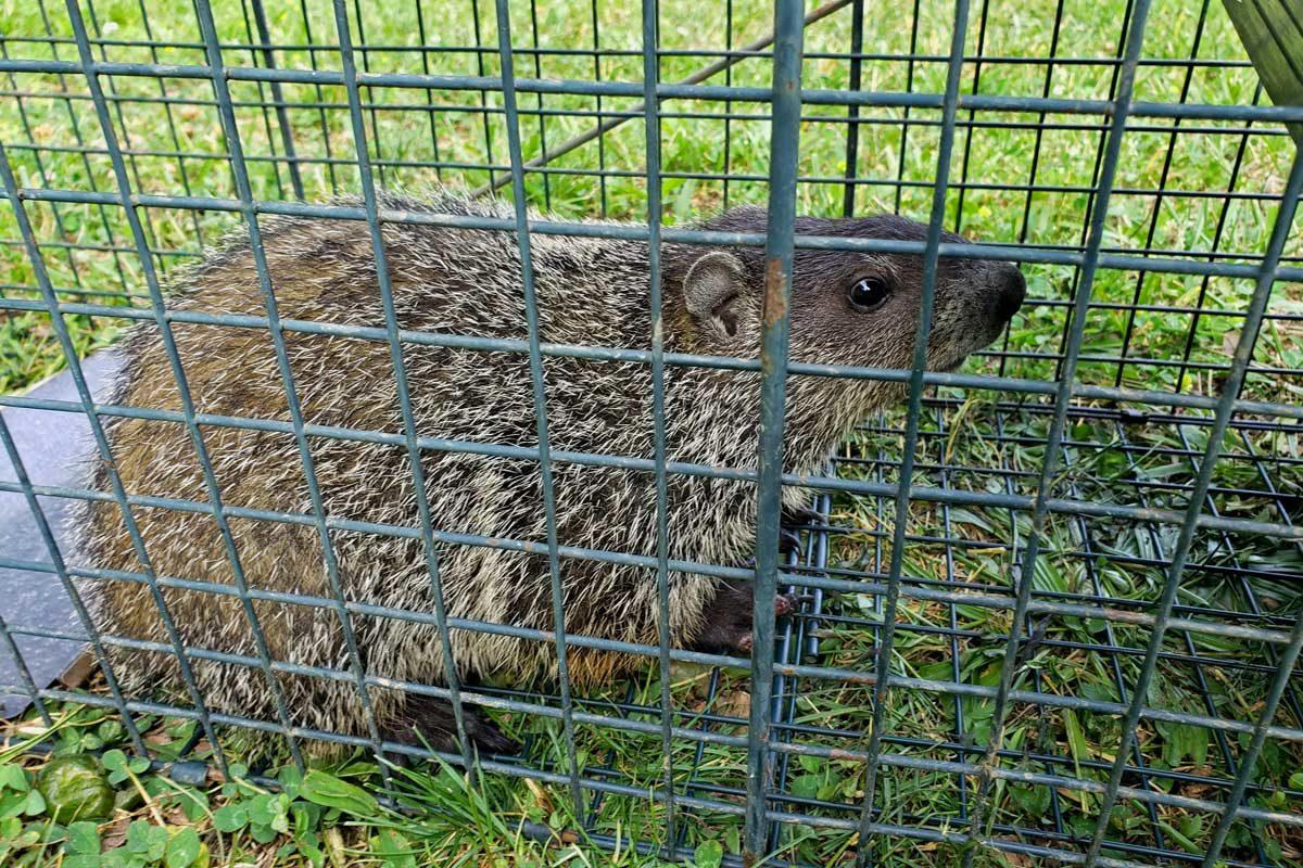 groundhog inside live trap