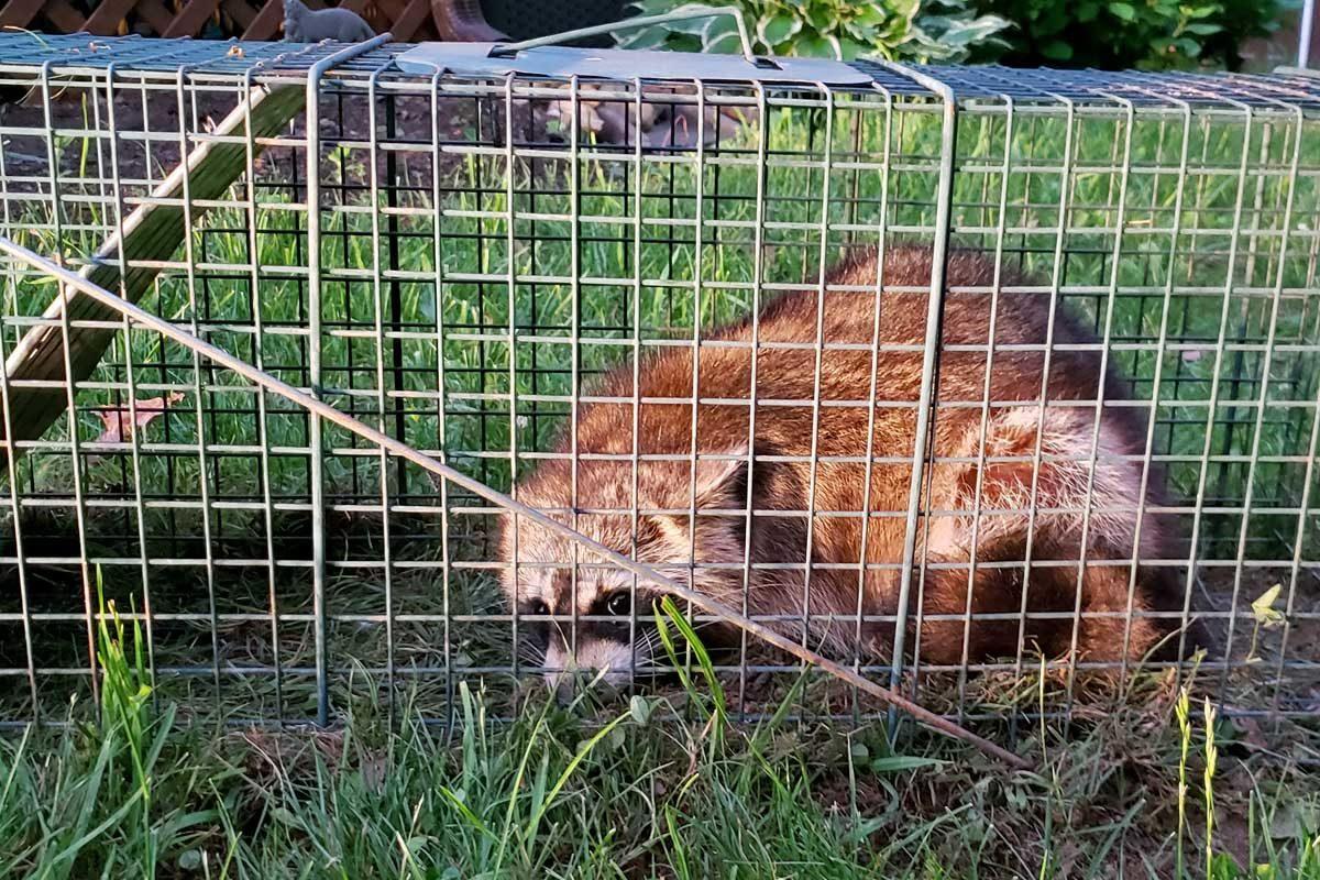 raccoon inside live trap