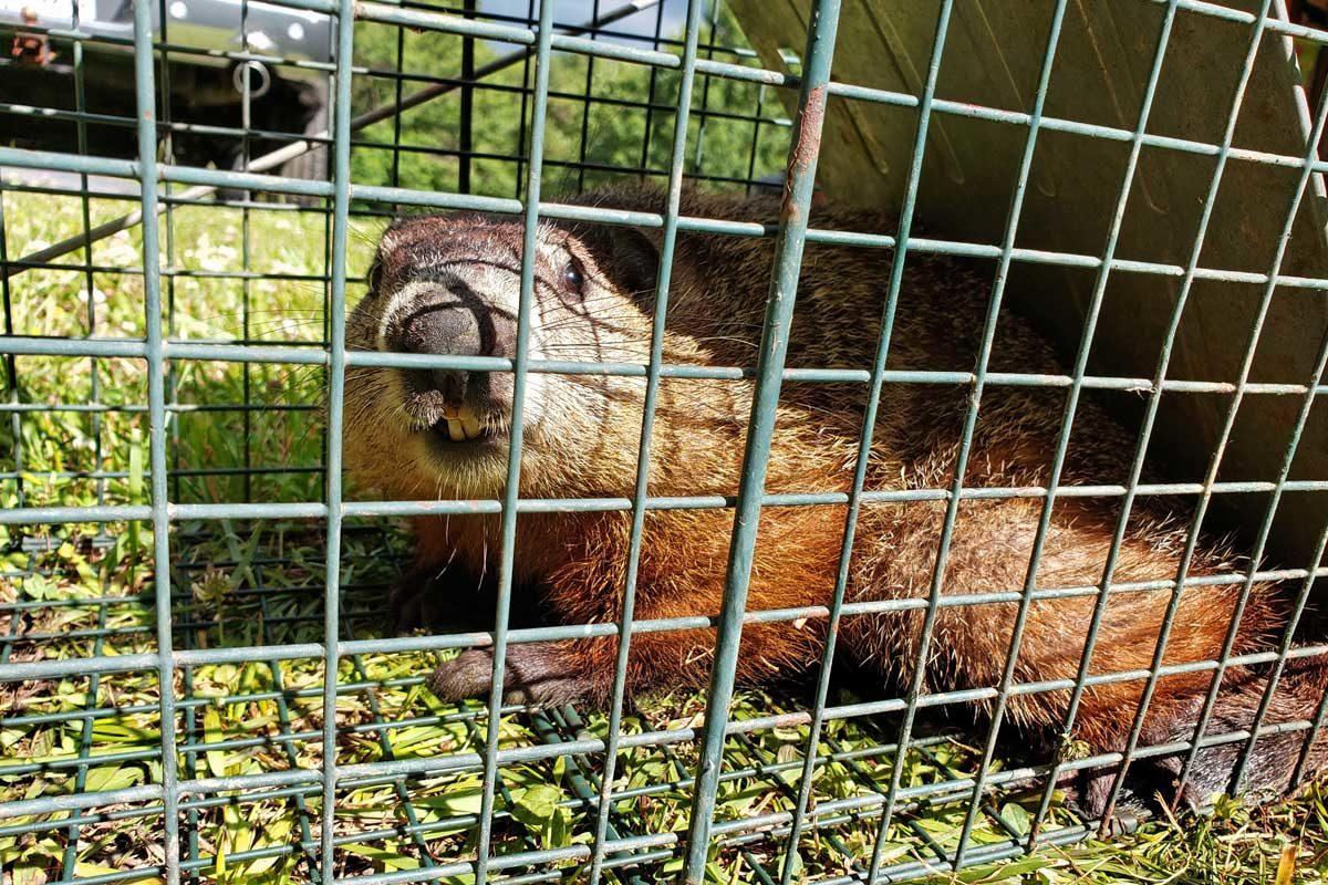 groundhog inside live trap showing teeth