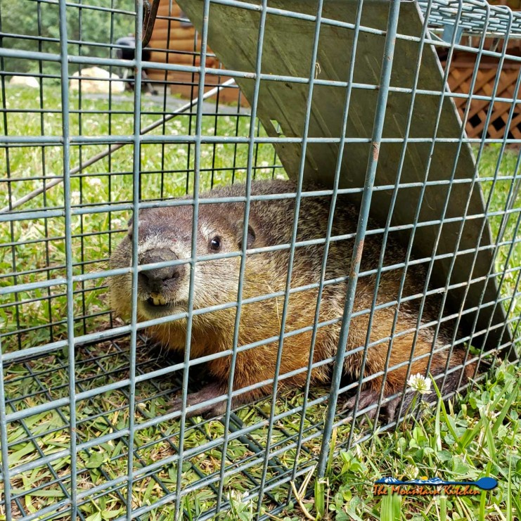 groundhog in live trap