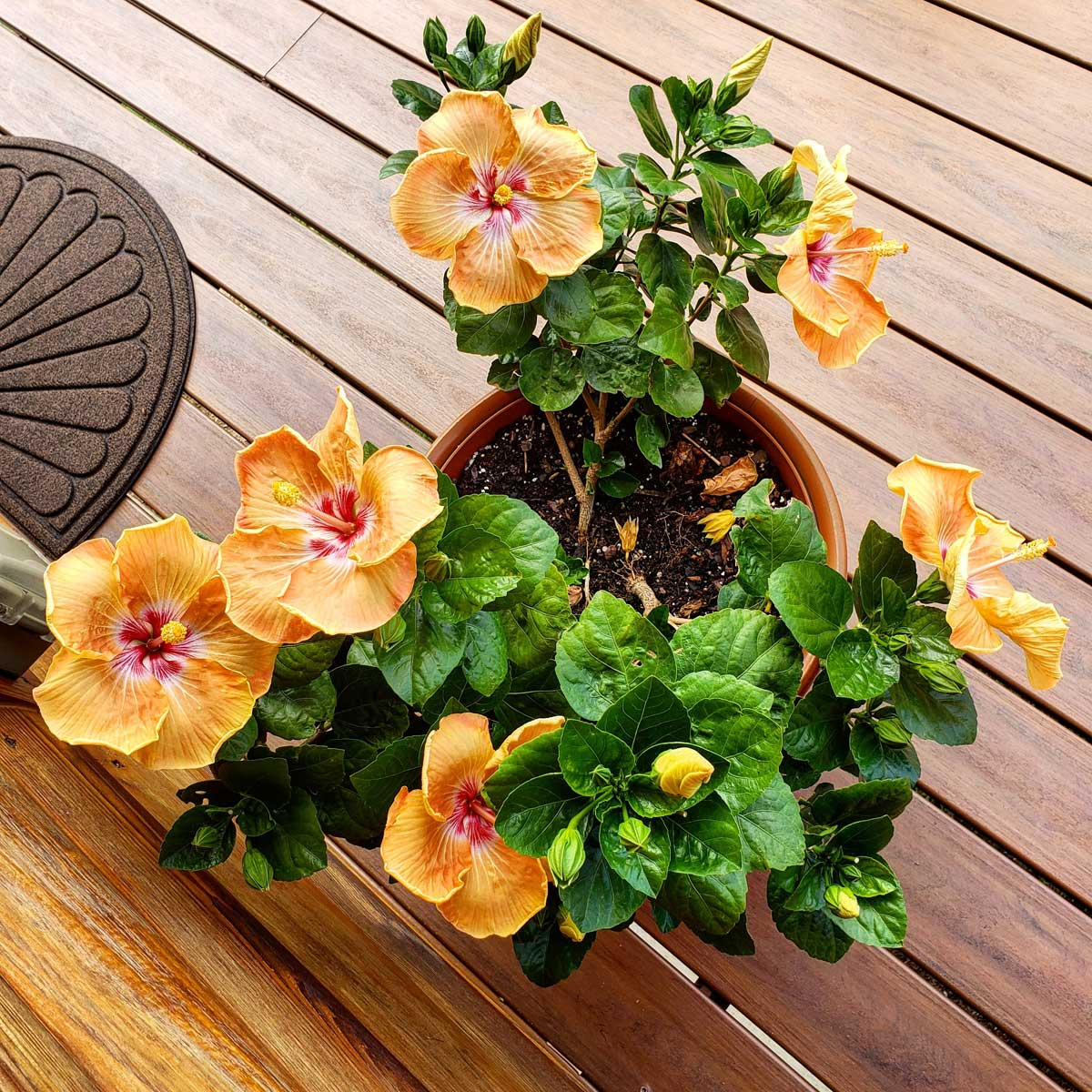 hibiscus in pot thriving