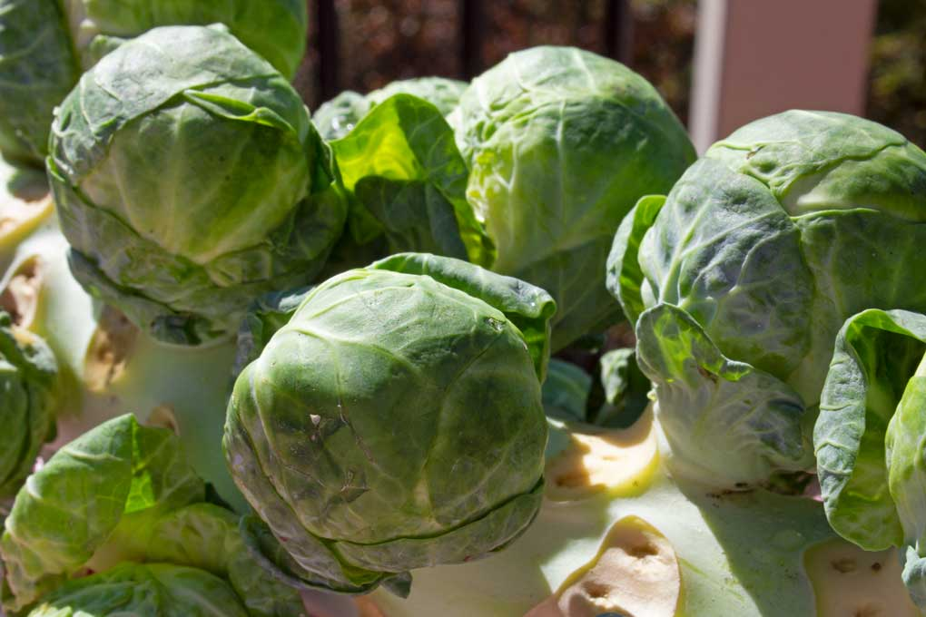 brussels sprouts on stalk