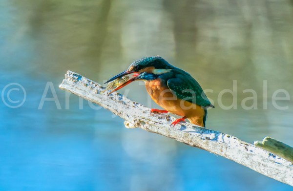 Kingfisher with a fish on a branch