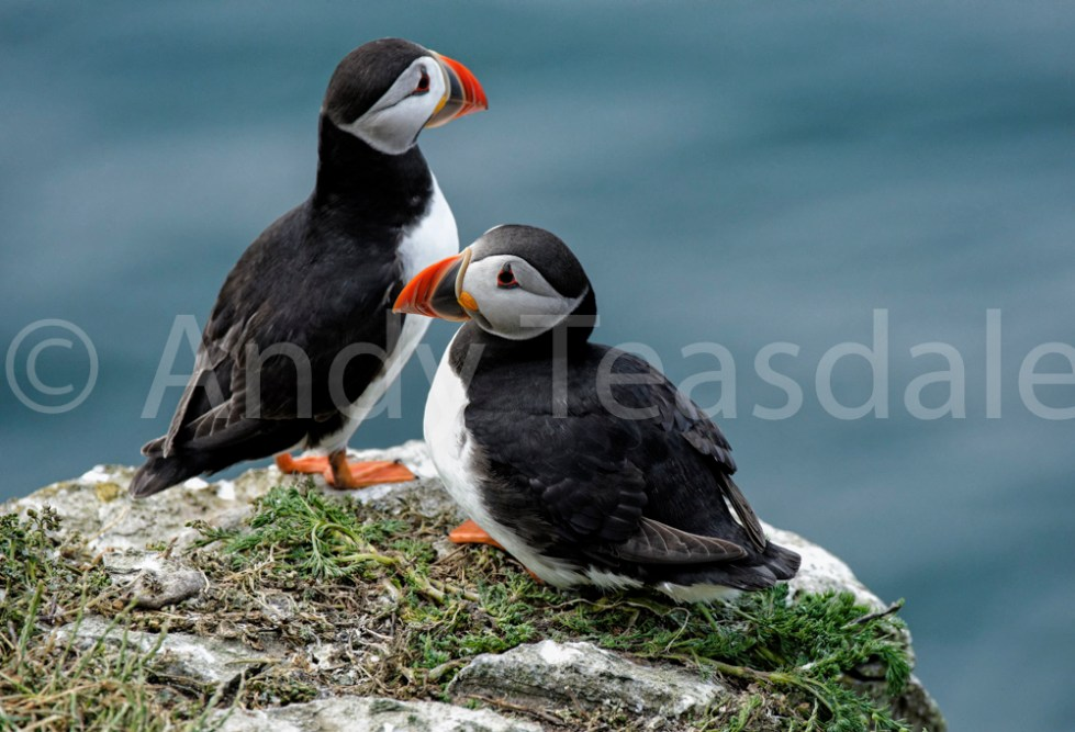 Puffins on a cliff top