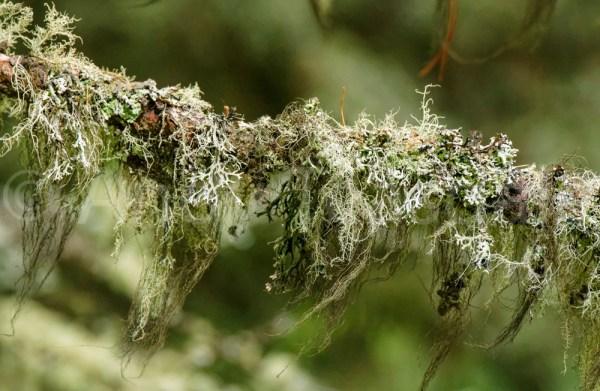 Lichen on a tree branch