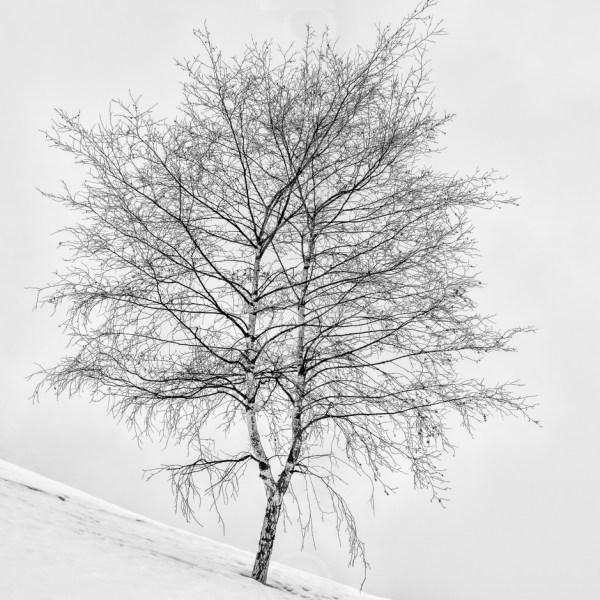 Silver Birch in snow