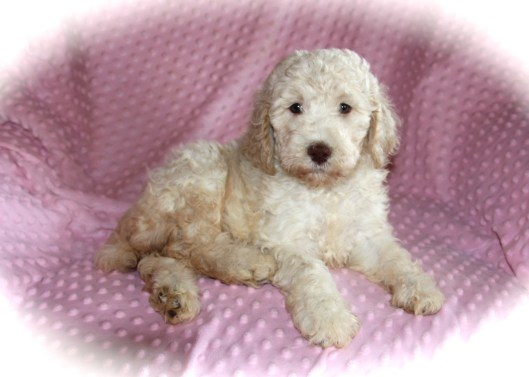 Oodles of poodles texas