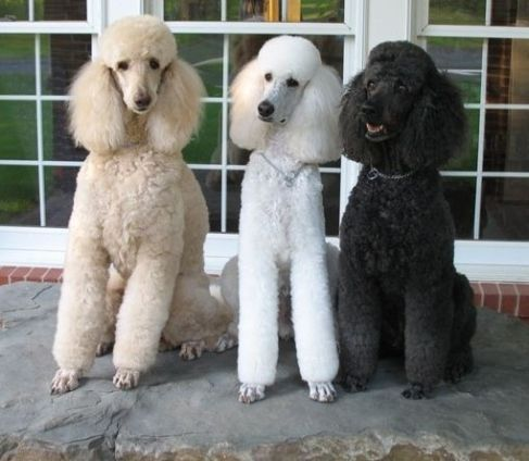 Apricot Poodle, Black Poodle and White Standard Poodles sitting sweetly together