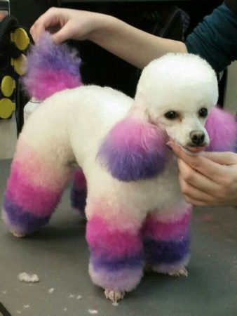 Colorful Poodle Puppy