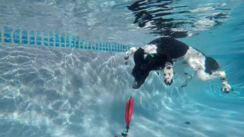 Poodle diving under water for his toy