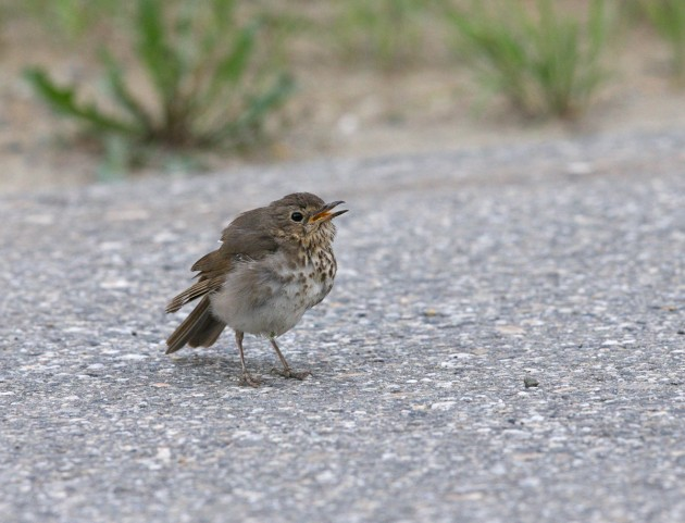 Hermit Thrush, Airport Ponds, Fairbanks
