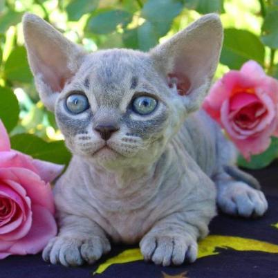 minskin - 10 rare cat breeds
