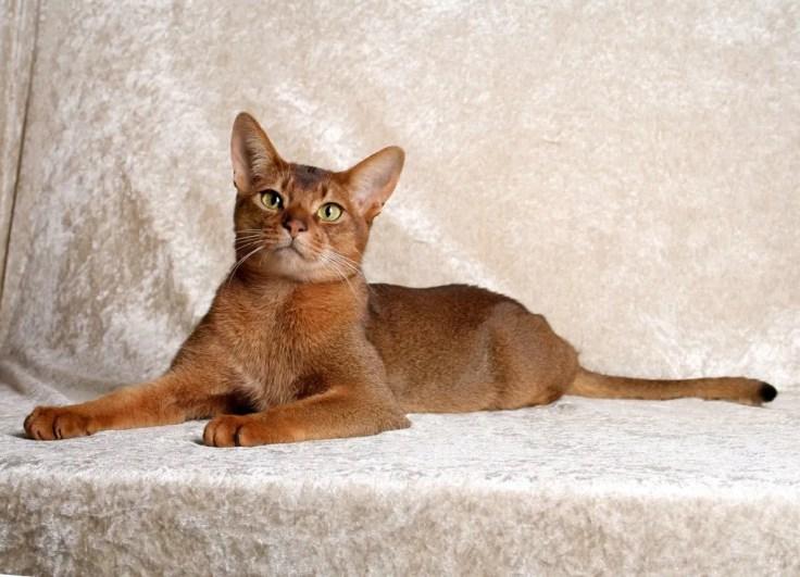 Abyssinian Cat - 10 Rare Domestic Cat Breeds