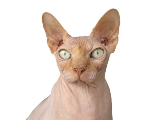 Sphynx - 10 Rare Domestic Cat Breeds