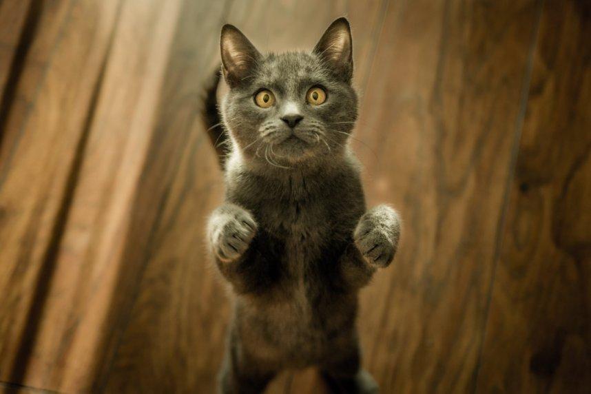 pet insurance standing cat