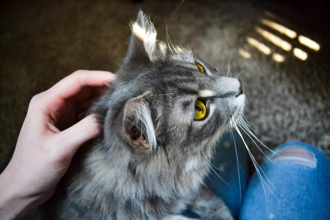 grey long haired cat sitting on lap being stroked, with jeans on for holiday cat sitting