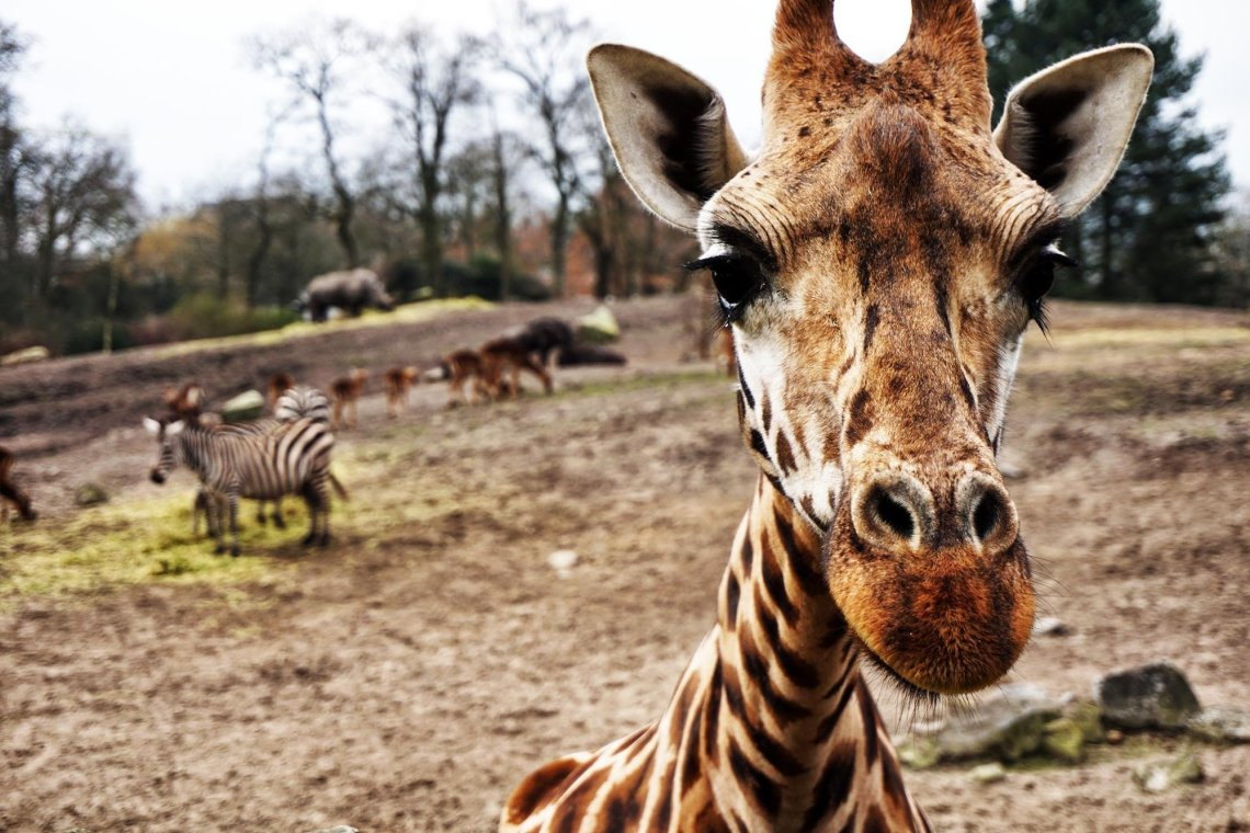 giraffe up close to the camera with zoo type background