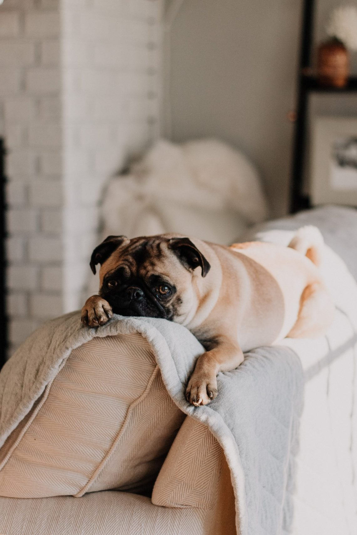 pug sitting on the top of a sofa looking a little sad