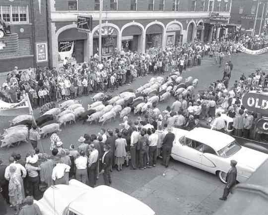 """A herd of hogs runs down the street during the 1955 Hog Days festival. """"We now give the hogs the weekend off and race the humans instead,"""" said Larry Flannery, cochairperson and treasurer of the annual event. (Photo provided by Larry Flannery)"""