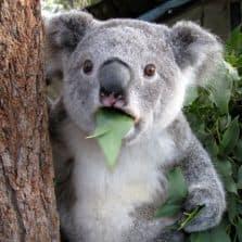 koala-cant-believe-it