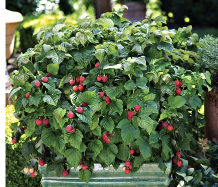Indoor Trees Raspberry Bush with Berries in Container Plants with Fruit Growing Raspberries