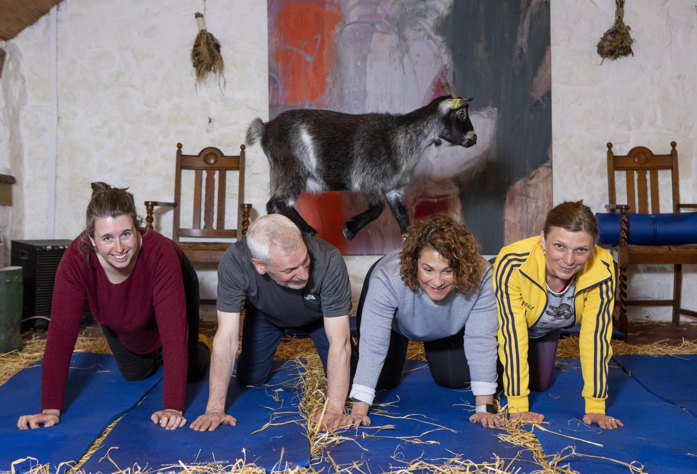 Scotland Goat Massage - మస్త్ మస్త్ మేక మసాజ్ - Video