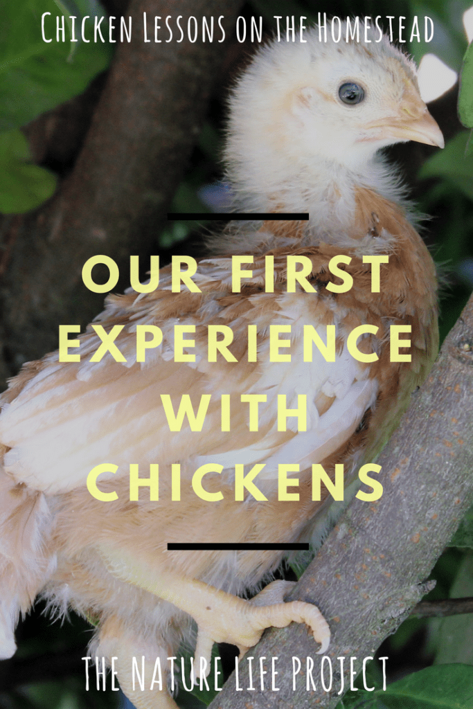 Our first experience with chickens: chicken lessons on the homestead.