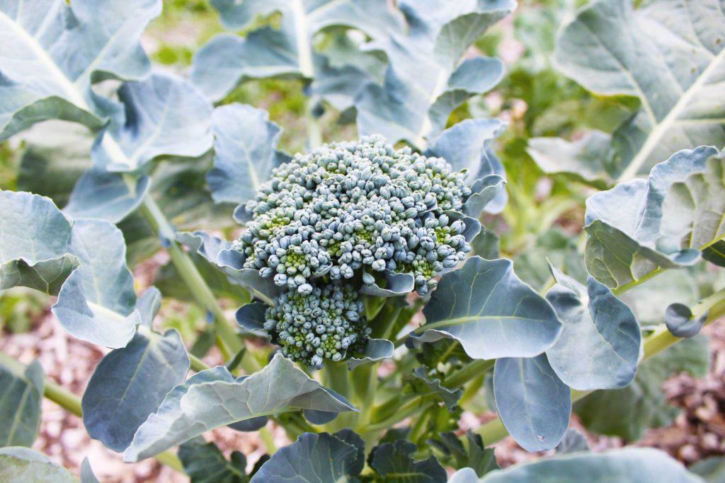 Broccoli di Ciccio