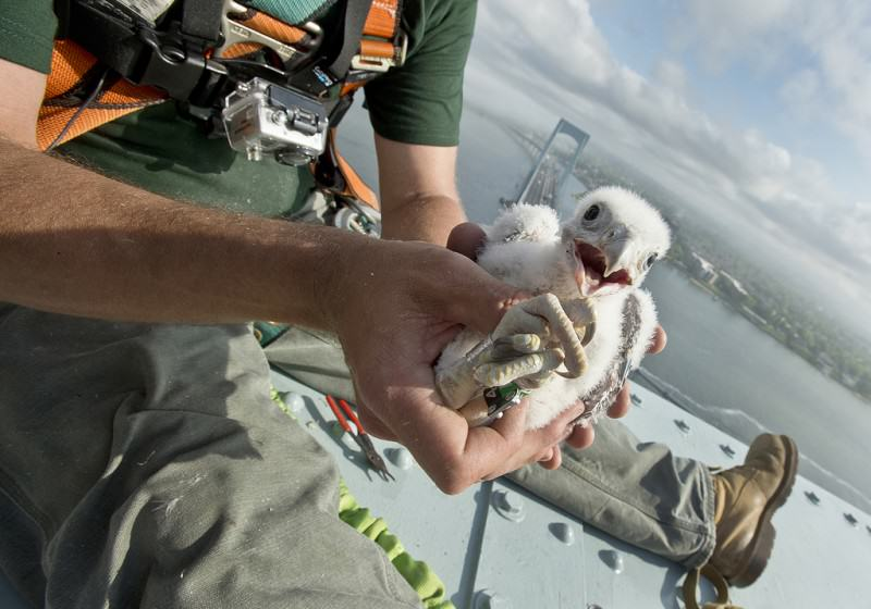 10) Falcon chick. Credit Metropolitan Transportation Authority of the State of New York