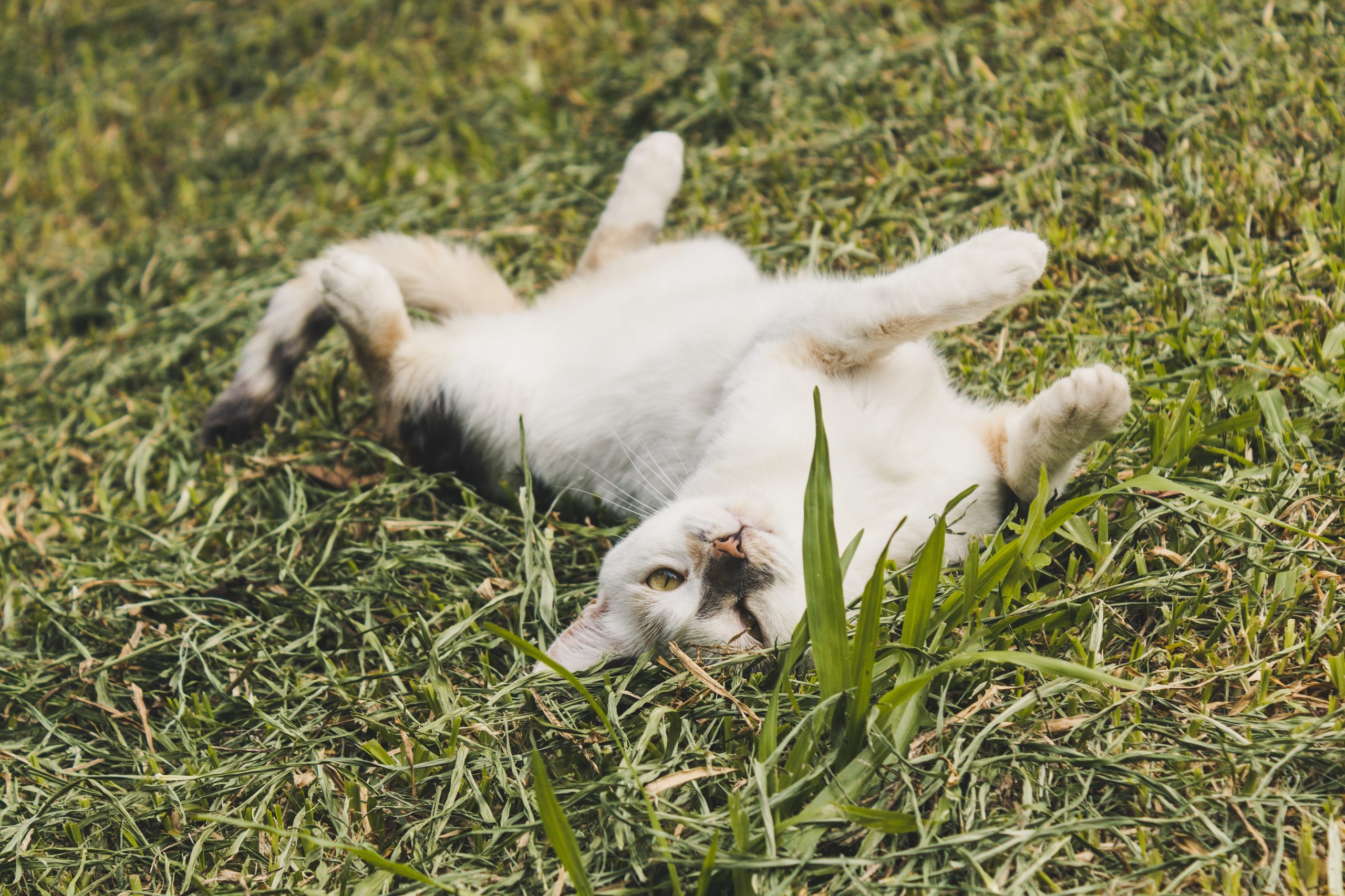 An orange and white cat lays on its back in the grass