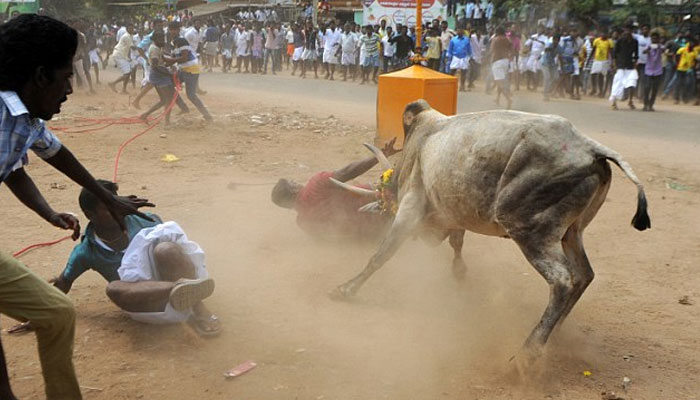 Image result for pictures from indian bull festival 2019