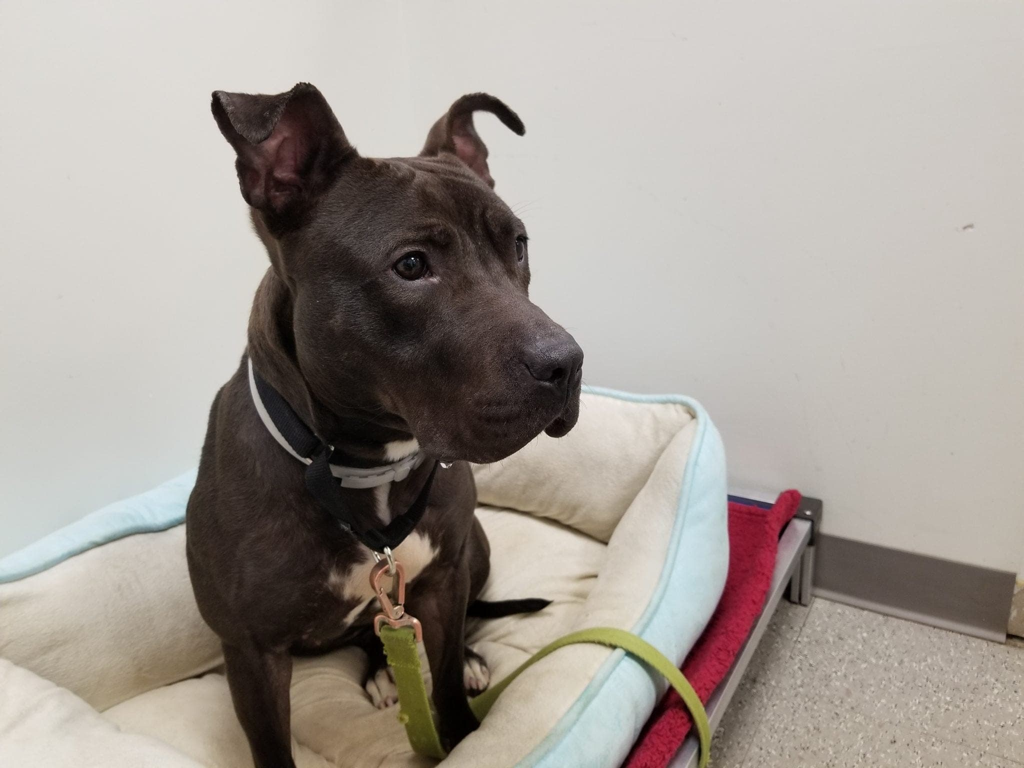 Kinsleigh the Pit bull greets visitors