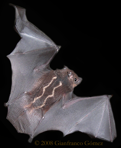 Whitelined Bats Saccopteryx sp  The Night Tour