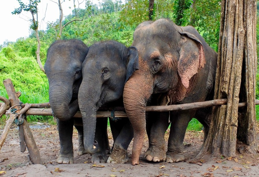 elephants together at chiang mai elephant sanctuary