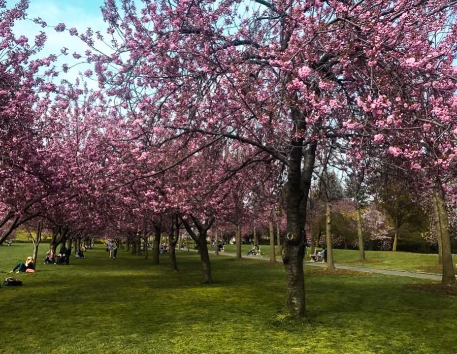 Cherry Blossom trees in Brooklyn Botanical Garden