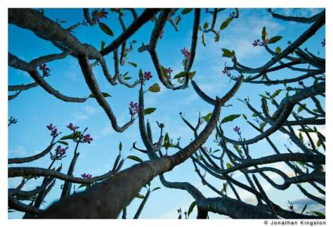 Plumeria Rubra branches, Molokai, Hawaii.