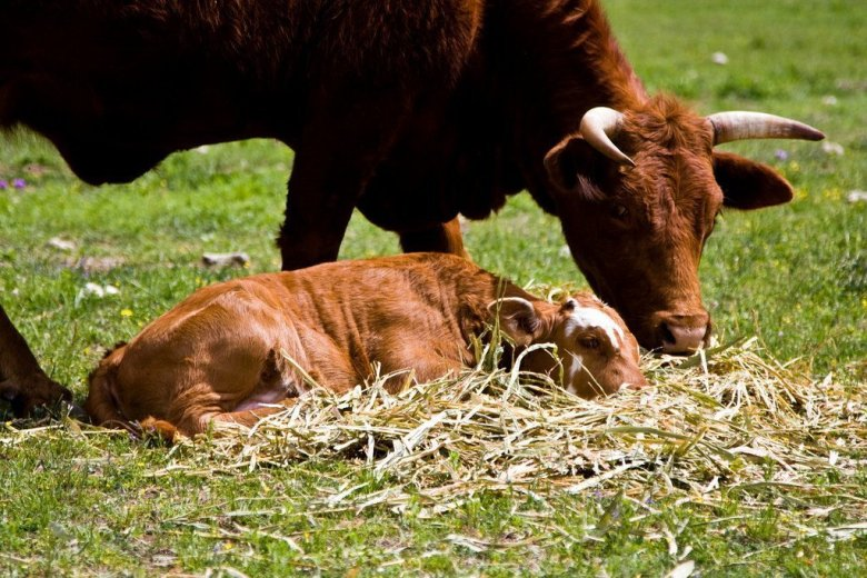 """""""Baby calf"""" by Christopher Leonard is licensed under CC BY-NC-SA 2.0"""