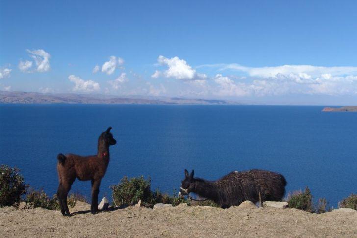 llama and donkey at Lake Titicaca - vegan in Peru