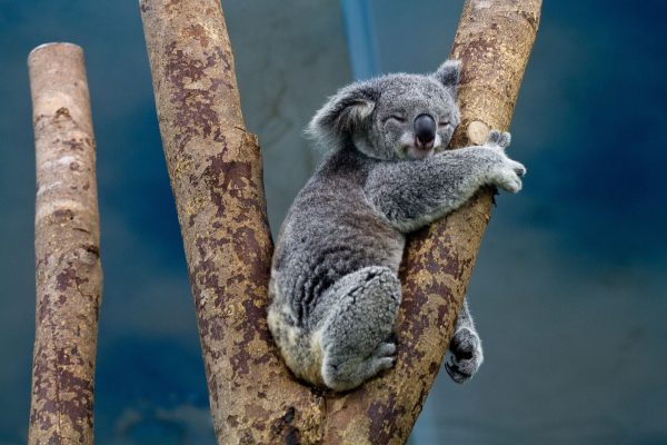 Koala - volunteering as a vegan in Australia