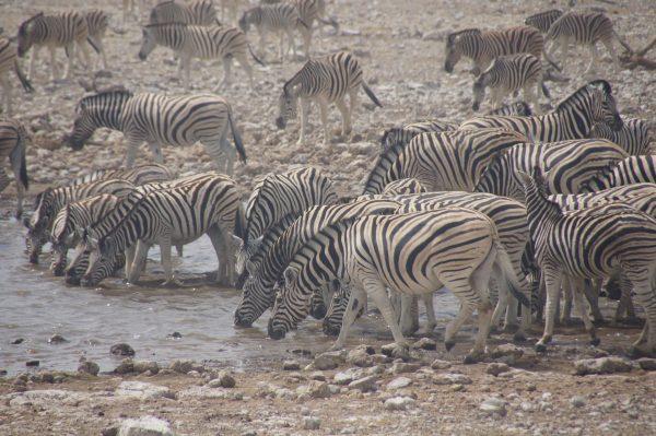 zebras in Etosha - tour of Namibia